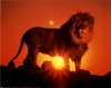 African reserve: Lion`s Lounge