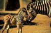 African reserve: Zebra Stripes