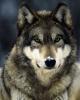 WolfHund - Lionzer player