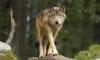 link240animaljam - Lionzer player