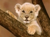 Zoopal55 - Lionzer player