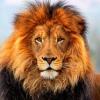 Hazelwind - Lionzer player
