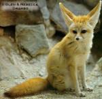 photo - Fennec Fox