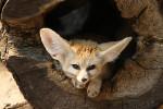 Siele - Fennec Fox (2 years)