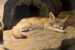 Ama - Fennec Fox