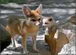 Siele mit Babou - Fennec Fox