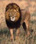 mik - Male Lion