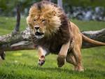 Lyon - Male Lion (4 years)