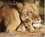 nala - Lion (3 years)