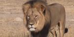 Cécil - Male Lion (13 years)