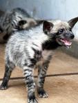bebe hiena sonriendo - Striped Hyena (3 years)
