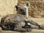 homer - Striped Hyena (4 years)
