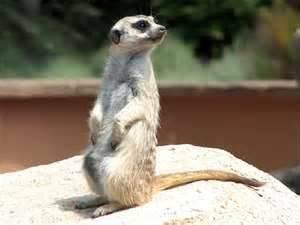suricata - Meerkat (3 years)