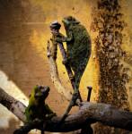 Chameleon - (1 month)