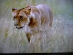 simba - Male (1 year)