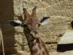 Girafe Bioparc -