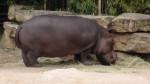 hippo -