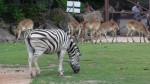 zebre -