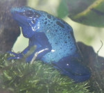 Grenouille bleue -