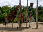 Girafe -