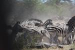 Zebra Herd -