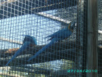 Pascal - Male Budgerigar (Other)