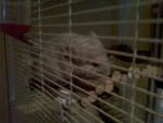 Bob - Male Chinchilla (4 months)