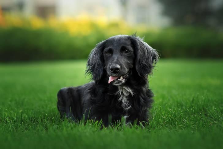 Un bel Epagneul Russe noir allongé dans l'herbe