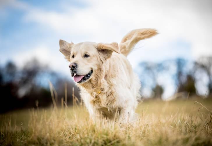 Un beau Golden Retriever court dans un champ
