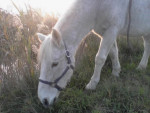 Muscat - Male Donkey (11 years)