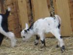 Scheki - Goat