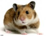 Lili - Hamster (2 years)