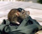 Raptus - Mouse