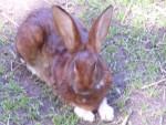 Choupette - Rabbit (2 years)