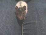 Guizmo - Male Rat (6 months)