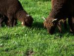 Moutons - Sheep